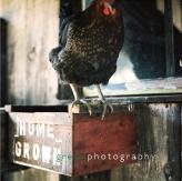 chicken-6x6(5)