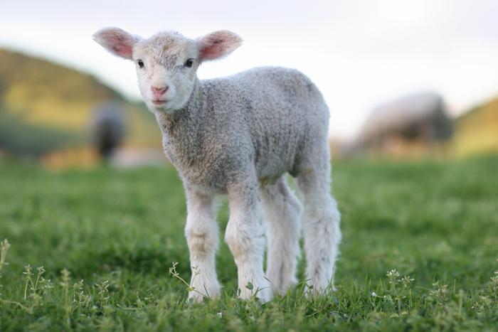 Lamb Days For Spring Break Windrush Farm